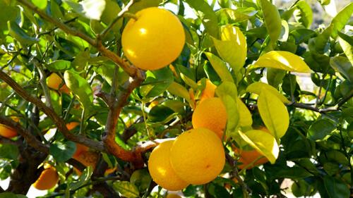 柑橘じゃばらとは