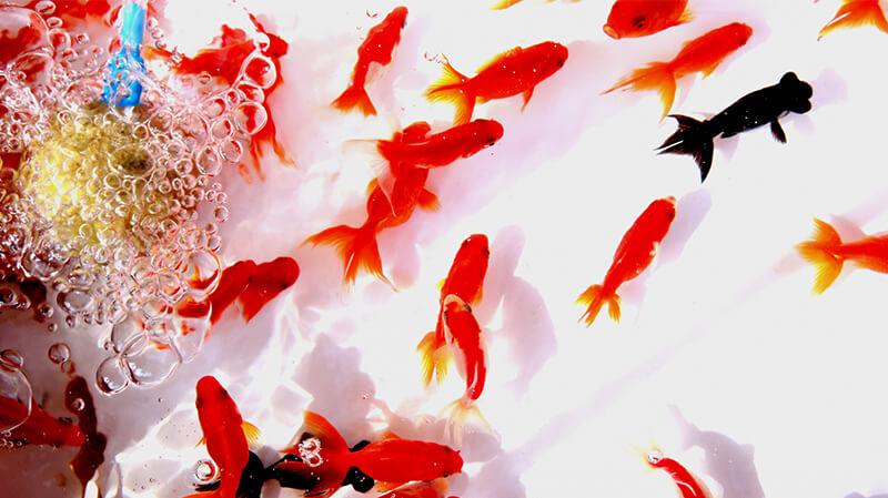 【エプソムソルト】体調不良の金魚への効果について